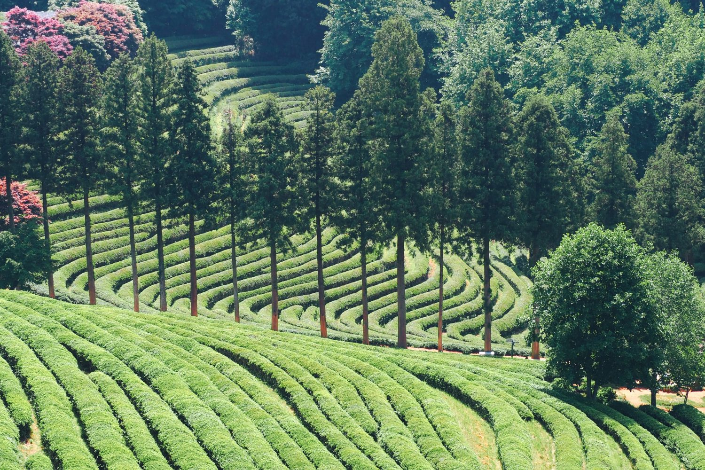Чайные плантации Посон