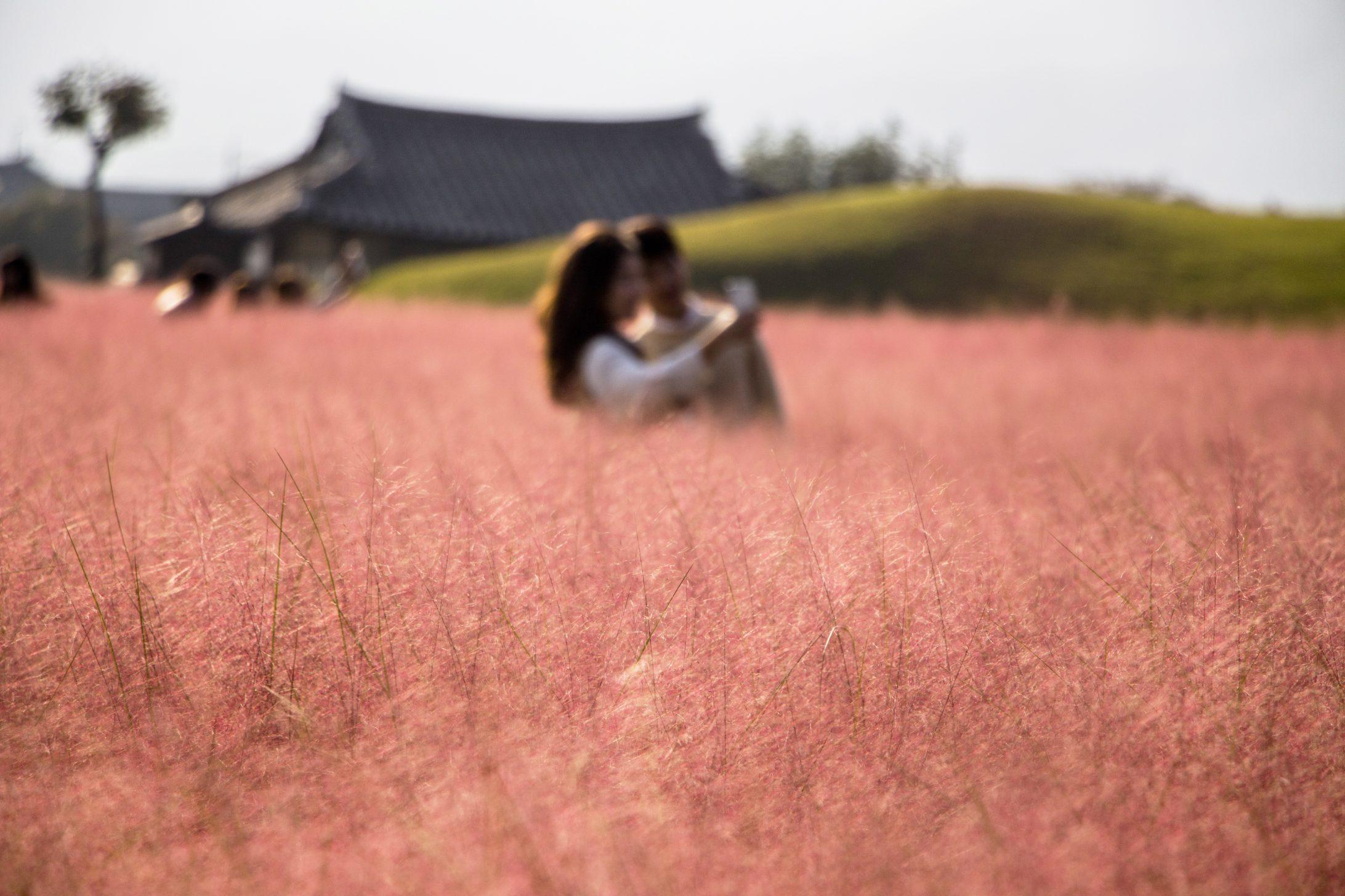 корейская розовая трава Мюленбергия